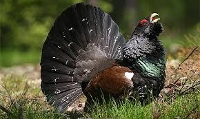 Глухарят (див петел) е изключително успешен бунтар. Успява да прогони мъжкарите от цялата палитра на птичия, животински и човешки свят от територията, където в тихо усамотение живее единствено той със своите кокошки и пилета. Но дами допуска! Единственият шанс да секне гордият му бунт е да му пратят бракониери...