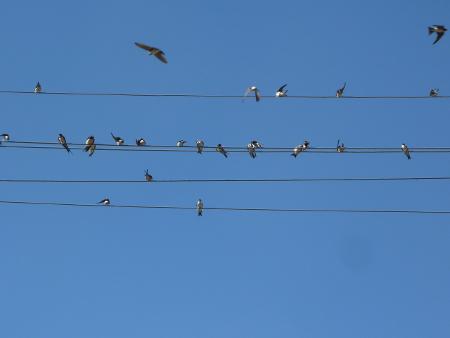 """Лястовичките са кацали, кацат и ще кацат по жиците без да им дреме кой """"невидимо"""" се е прикачил да """"цица"""" комисионни от насочения поток на електрони по кабела..."""